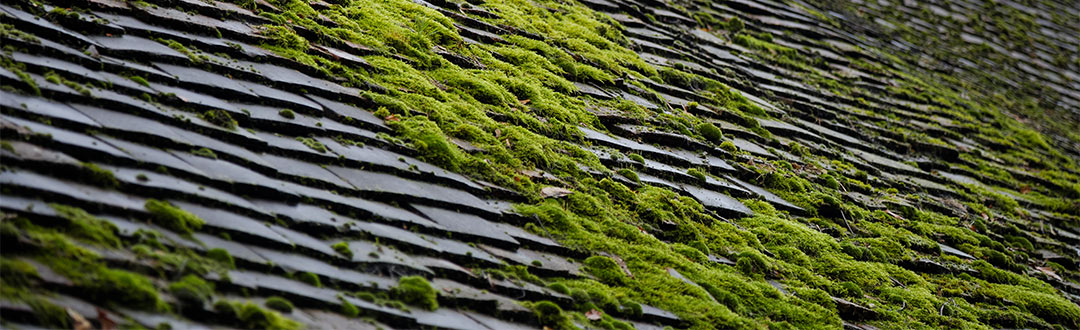 moss growth on roof shingles